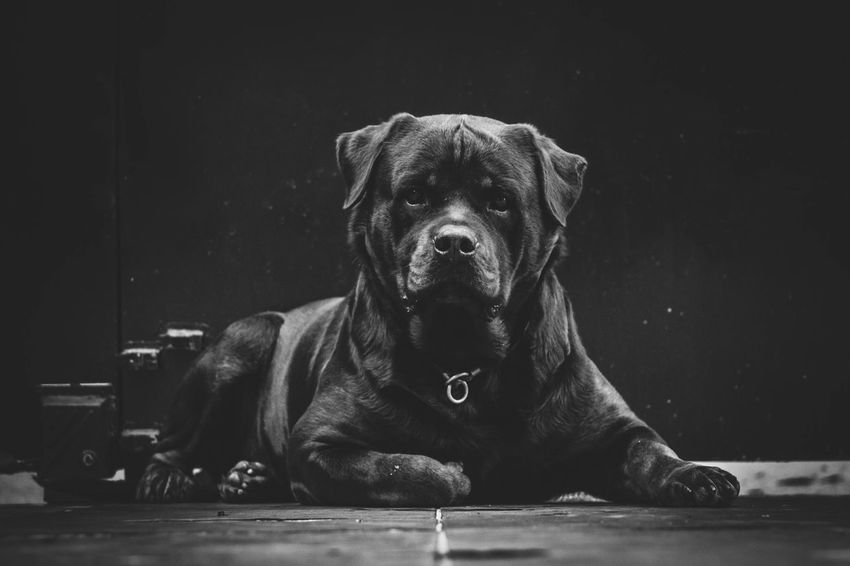 My little boy portrait IRON Pet Rottweiler Pet Portraits Pet Photography  One Animal Canine Mammal Dog Pets Domestic Domestic Animals Portrait Sitting Looking At Camera Close-up