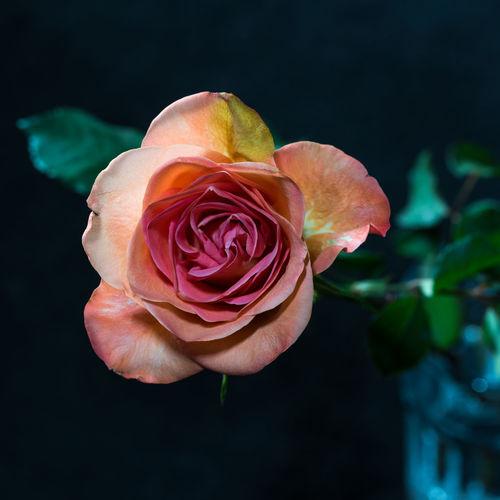 Blume Blätter Blüte Blütenblätter Flora Floral Fokus Auf Den Vordergrund Großaufnahme Licht Und Schatten Natur Rose🌹 Vergänglich Vergänglichkeit Zart Zarte Blüte