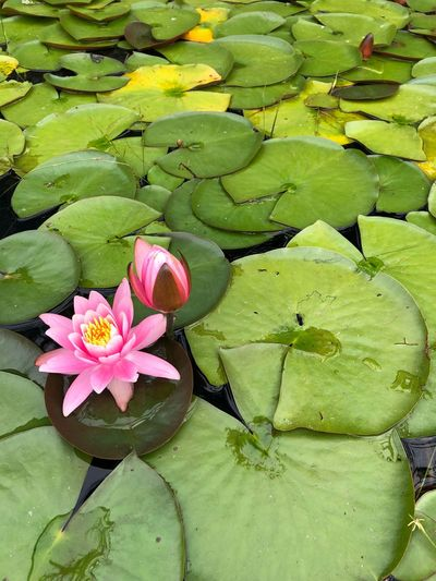 Flower Plant Water Lily Flowering Plant Beauty In Nature Water The Still Life Photographer - 2018 EyeEm Awards Pink Color Floating On Water Lotus Water Lily Lake Fragility No People Freshness