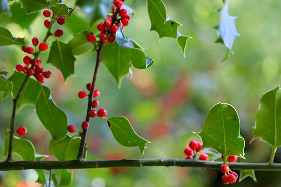 Holly Plant Part Leaf Fruit Plant Freshness Growth Nature Beauty In Nature Outdoors Green Color No People Close-up Red Tree Day