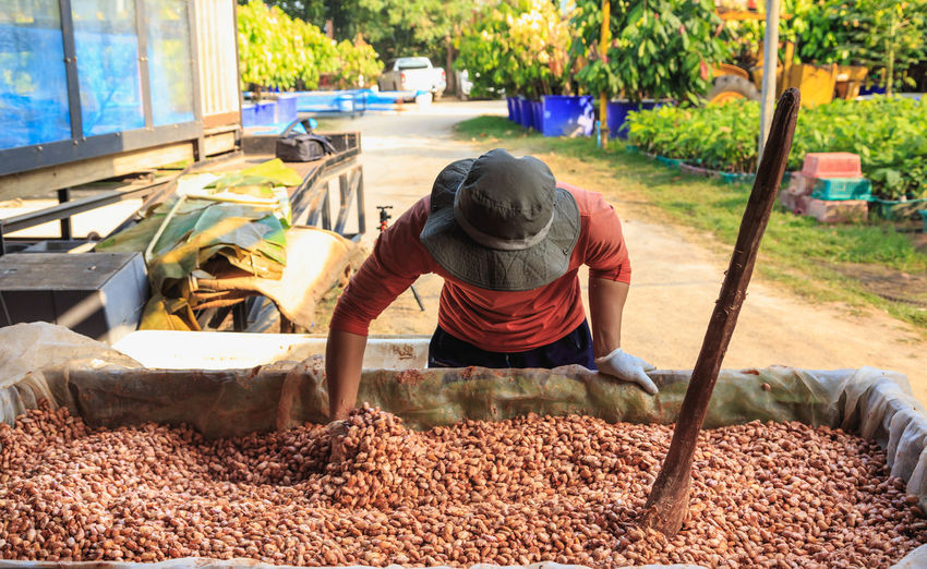 Man collecting cocoa seeds in container