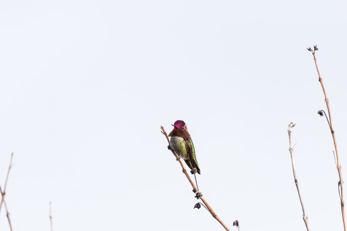 Anna's Hummingbird Perched on a Branch Animal Photography Animal Themes Animal Wildlife Animals In The Wild Anna's Hummingbird Bird Bird Photography Birds Of EyeEm  Birdwatching Branch Changes Clear Sky Colorful Day Hummingbird Nature No People One Animal Outdoors Perched Small Tiny Twig Wildlife & Nature Wildlife Photos
