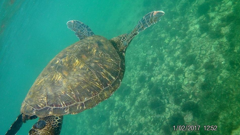 Sea turtle Snorkeling Turtle Sea Turtle Sea Life Sea Underwater UnderSea One Animal Animal Wildlife Swimming Animals In The Wild Reptile Water Animal Themes No People Nature Tortoise Tortoise Shell Outdoors Day Go Higher