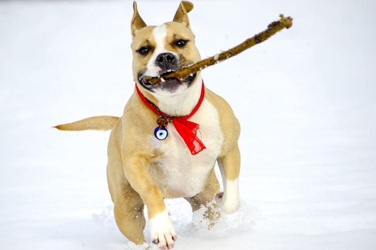 staffie, badem Canine Dog Snow Cold Temperature Winter One Animal Pets Domestic Mammal Animal Themes Domestic Animals Animal Vertebrate Nature Staffie Running Petal Amstaff Amstaff Love ❤ Badem Evil Eye Amulet Running Dog
