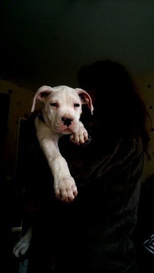 Baby Dog Dogo Argentino My Dog Is Cooler Than Your Kid.