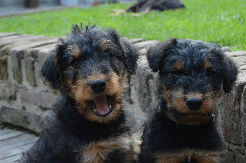 Puppy Love Airedaleterrier Animal Themes Domestic Animals No People Outdoors Pets Puppy