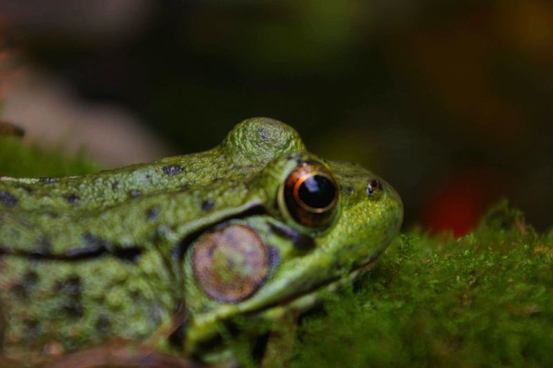 Eye see you. Animal Wildlife Close-up Nature Frog Green Eye EyeEm Nature Lover EyeEmNewHere Eye4photography  EyeEm Best Shots Gouldsboro Pennsylvania