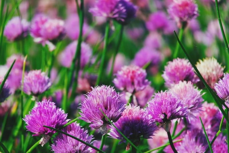 Flowering Plant Flower Plant Beauty In Nature Freshness Vulnerability  Growth Nature Inflorescence Purple Petal Focus On Foreground Pink Color No People Flower Head Outdoors Fragility Close-up Day Botany