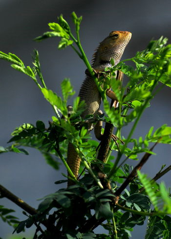 Reptile Animal Themes Animal Wildlife Animals In The Wild Beauty In Nature Close-up Day Green Color Growth Leaf Nature No People One Animal Outdoors Perching Reptile Photography Tree