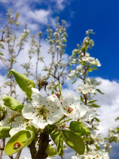 Plant Flower Flowering Plant Growth Fragility Freshness Blossom Close-up Nature Vulnerability  Springtime Beauty In Nature Tree No People Focus On Foreground White Color Flower Head Pollen Day Sky