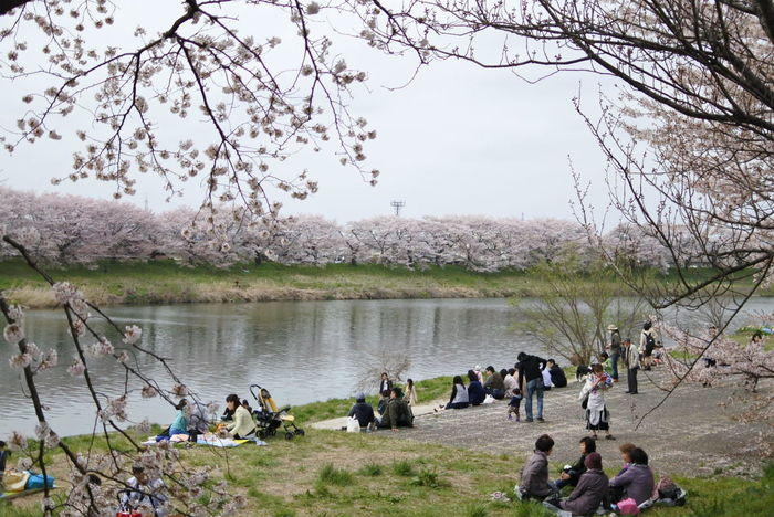 お花見 Sakura Sakura2016 Hello World Sakura Blossom