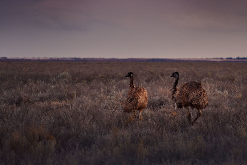 Australia Australian Emu Native Outback Animal Animal Themes Animal Wildlife Animals In The Wild Arid Climate Bird Clouds Day Dry Grass Grasslands Horizon Nature No People Outdoors Pair Sky Sunset The Natural World Two