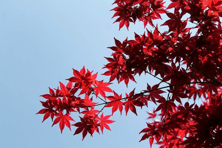 Leaves Maple Red Nature Tree Sky Sigurtà Italy Valeggio Sul Mincio Perspectives On Nature