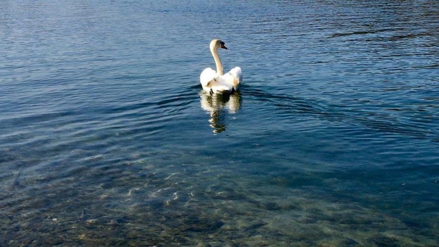 Swan Series Swantastic Swans ❤ Swans Swan Schwanenfamilie Schwäne Schwan