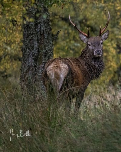 You stag sheltering under a tree . Wildlife Collection EyeEm Masterclass Eye4photography  Sony A7RII Scotlands Beauty Sony Images Nature_collection Scotland