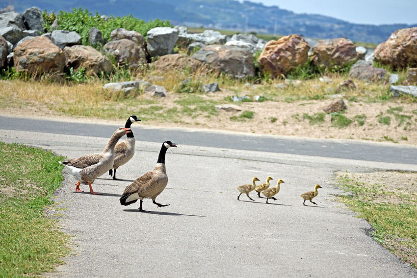 Canadian Goose Goslings @ Crown Beach 5 Branta Canadensis Anserini Waterfowl Gosling Brood Mated Pair Goose Gander Leave PondFamily Outing Gaggle Of Geese Grassy Bank Ready To Graze Sweet Grass The Greylags Had Reservations First The Noisy Canadian Brood Wasn't Invited Harrased By Greylag Goose The Chase Is On Family Outing Disturbed Alameda, Ca.