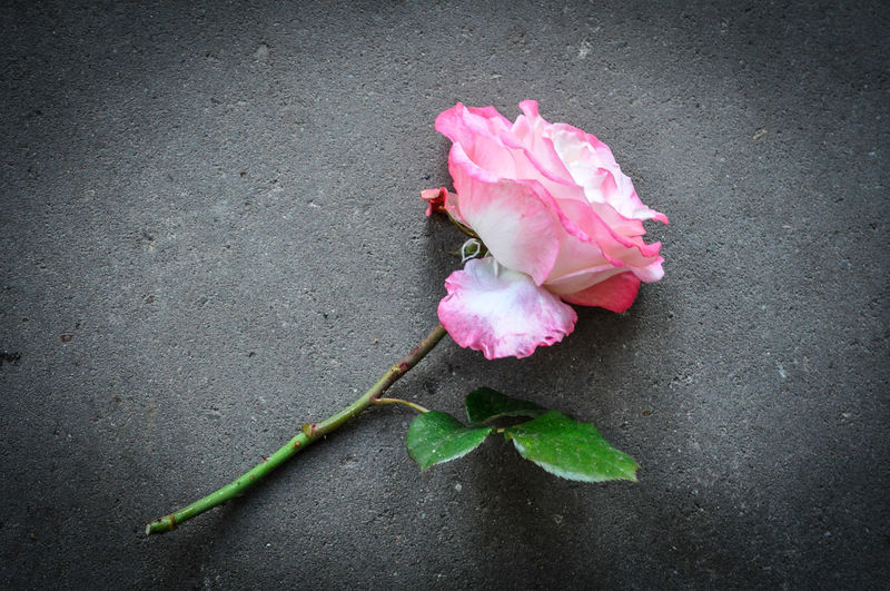 High angle view of pink rose flower
