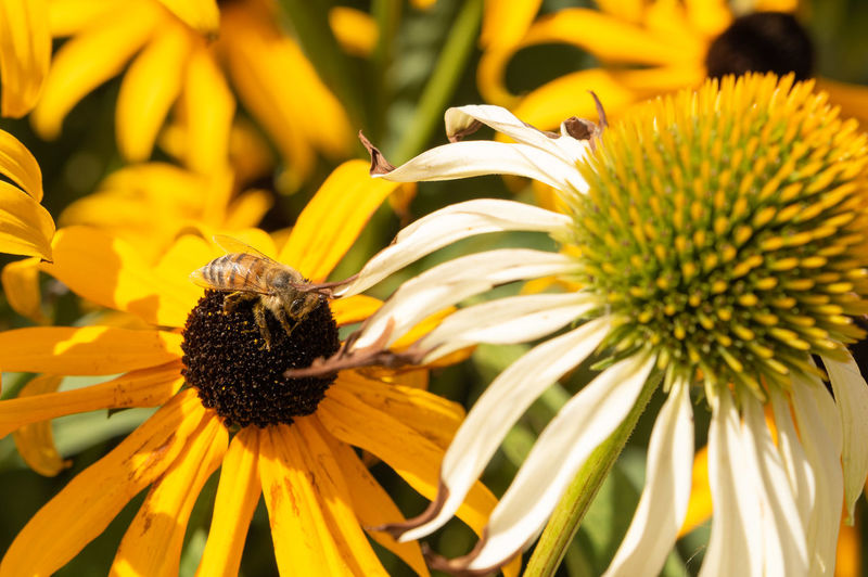 Bees Animal Animal Wildlife Animals In The Wild Beauty In Nature Bee Close-up Coneflower Flower Flower Head Flowering Plant Focus On Foreground Fragility Freshness Growth Inflorescence Invertebrate No People Outdoors Petal Plant Pollen Pollination Vulnerability  Yellow