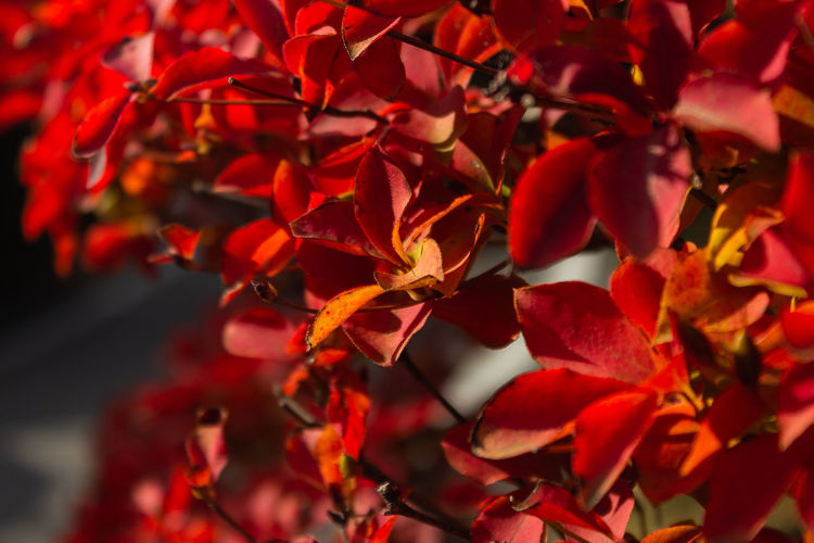 Autumn Japan Nature Travel Backgrounds Beauty In Nature Branch Change Close-up Day Focus On Foreground Full Frame Leaf No People Outdoors Plant Plant Part Red Selective Focus Sunlight Travel Destinations Tree