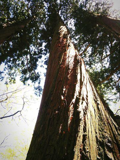 捻れる神の木 Twist of a tree of a god. Hello World Nature_collection Togakushi Shrine 神社 Japanese Shrine Oldtree 戸隠神社