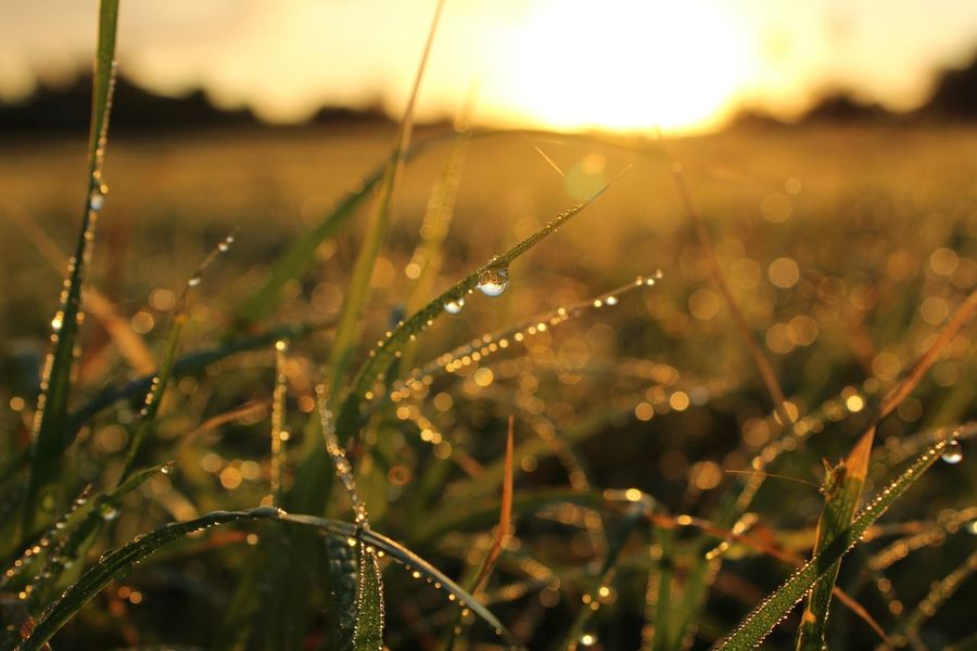 Nature Growth Water Plant Beauty In Nature No People Drop Close-up Outdoors Sunset Grass Day Morning Dew Morning Dew On Tip Of Leaf Morning Dew On Leaf Rocío