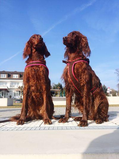 Fast Frühling! Animal Themes Domestic Animals Sky Mammal Pets Dog Day Outdoors No People Setter Irish Setter Setter Irlandes