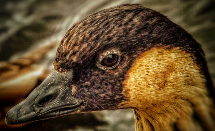 Don't know what type of Duck this is but was taken at Martin Mere Marshlands EyeEm Nature Lover Close-up Hdr Edit Close Up Photography Close Up Fujifilm Beauty In Nature Wildlife And Nature Nature Photography Malephotographerofthemonth Creative Light And Shadow Color Photography EyeEm Best Shots - HDR Fine Art Photography Beauty Of Nature EyeEm Best Shots - Nature Martin Mere Animal Photography Birds Wildlife Birds_collection Wild Birds Birds Of EyeEm  Duck Bird Face Hdr_captures Nature And Wildlife By Tony Bayliss