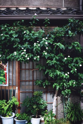 Plant Growth Outdoors Green Color Leaf Window Architecture Built Structure Beautiful Fine Art Photography Beauty In Nature Nature Flower Day Nature Vine - Plant Tree Building Exterior Ivy Dark 京都 Kyoto EyeEmBestPics Ultimate Japan EyeEm Nature Lover EyeEmNewHere EyeEm Selects Breathing Space The Week On EyeEm Investing In Quality Of Life