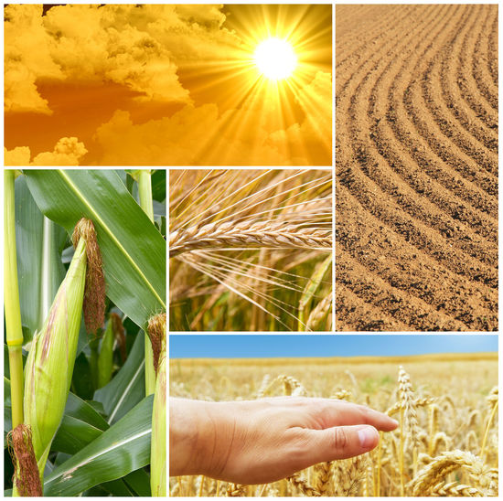 Agriculture collage Genetic Engineering Business Collage Farm Farmer Farmland Industry Agriculture Concept Crop  Cultivated Cultivation Ecology Environment Field Hand Maize Nature Plant Soil Sun Sunlight Sustainability Technology Wheat