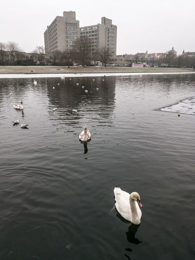 Adapted To The City Animal Themes Animals In The Wild Architecture Berlin Berliner Ansichten Bird Building Exterior City Day Nature No People Outdoors Swan Water Water Bird