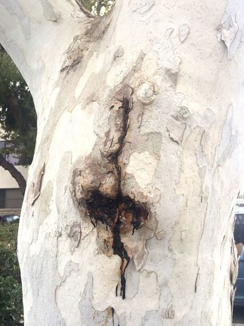 Bleeding Heart Tree Tree Trunk Outdoors Bleeding Hearts Nature
