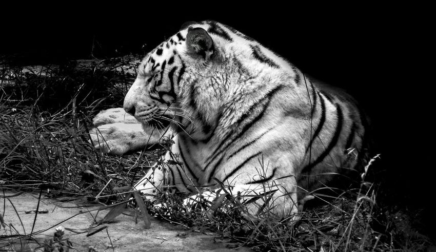 Animal Themes Horizontal Mammal One Animal No People Black And White Outdoors Tiger Tigers White The Great Outdoors - 2017 EyeEm Awards