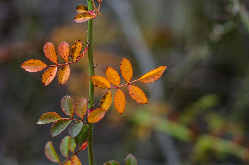 Bokeh Depth Of Field Fall Colors Focus On Foreground Leaf Nature Orange Outdoors Plant Rose Vine Selective Focus Stem Vine
