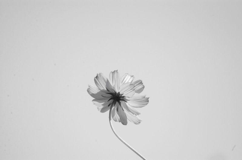 見上げる空。私はどこに向かっているんだろう?まあどーでもいいや。って怒りの矛先を鞘に収める。 Nature Flower Beauty In Nature Sky Cosmos キバナコスモス Monochrome Dramatic Angles Monochrome Photography 頭痛(-。-;