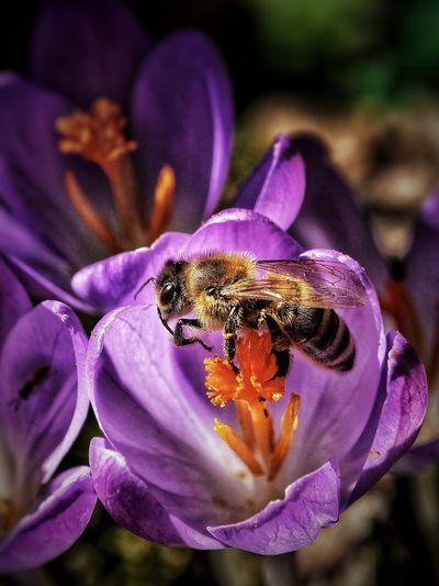 Bee Crocus