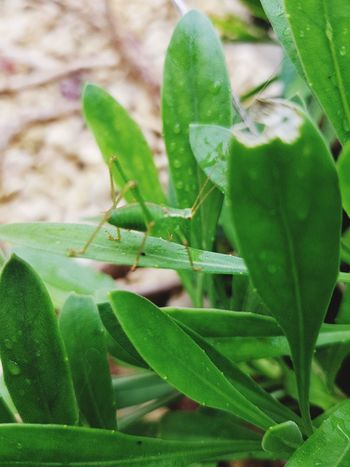 Green Color Animals In The Wild Leaf Insect Animal Wildlife Animal Themes One Animal Close-up Nature No People Plant Day Focus On Foreground Outdoors Grasshopper Beauty In Nature