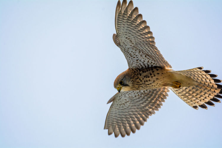 Low angle view of kestrel flying against clear sky