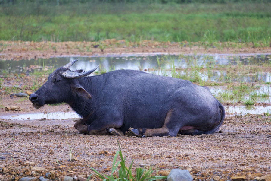 Asian buffalo Animal Asian  Borneo Buffalo One Rest Rural Scene Sabah Solo Farmland Agricultural Field Cultivated Land Bull Animal Face Horned Cattle Farm Animal Domestic Cattle Cow