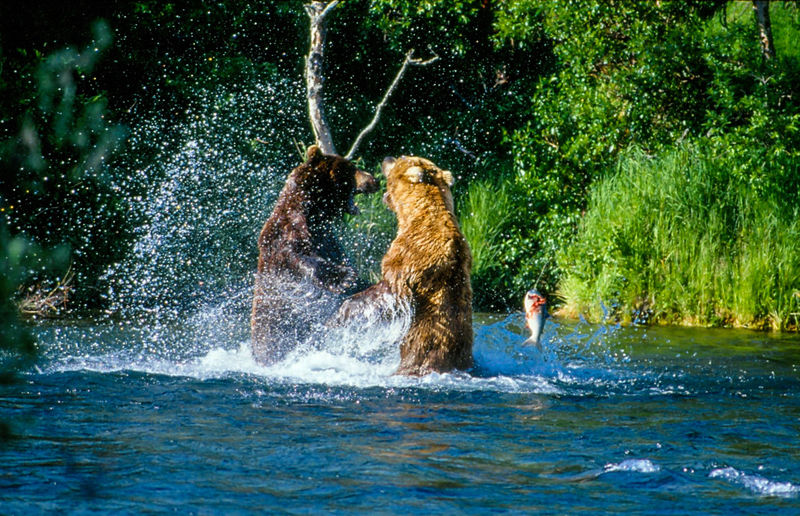 Two bears fighting in river