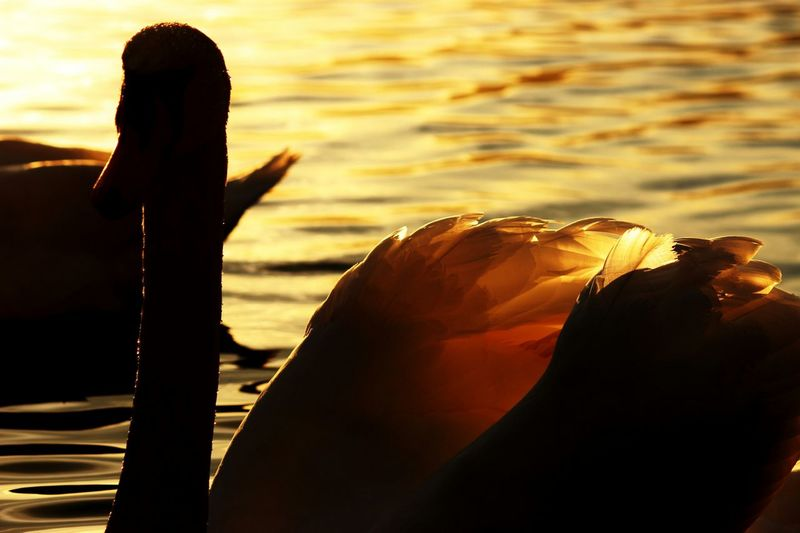 Swan Eveningsun Blackandyellow Lake CanonEOS600D