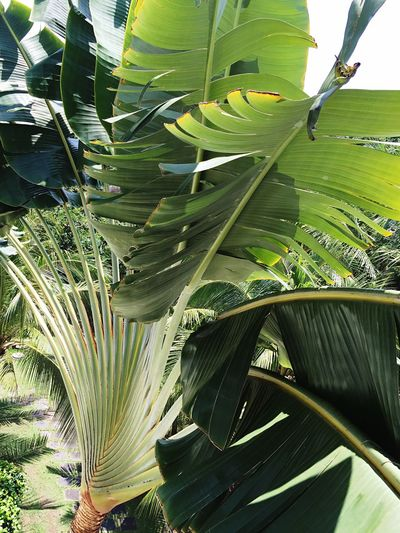 Ravenala Madagascariensis Traveller's Tree Traveller's Palm Tree Plant Green