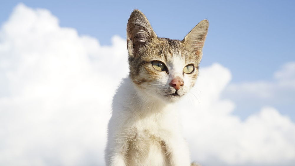 Animal Themes One Animal Pets Domestic Animals Domestic Cat Mammal Whisker Cat Feline Looking Away Alertness Sky Animal Head  Day No People Zoology