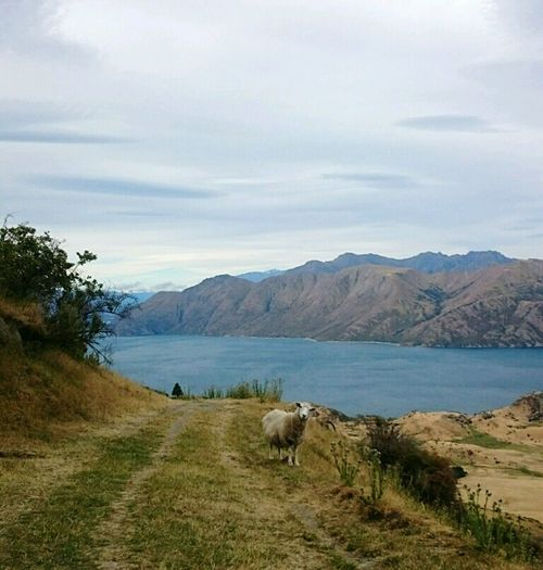 on the track to roys peak in Wanaka. Hiking Newzealand New Zealand Roys Peak Wanderlust Hello World Sheep 100% New Zealand Life