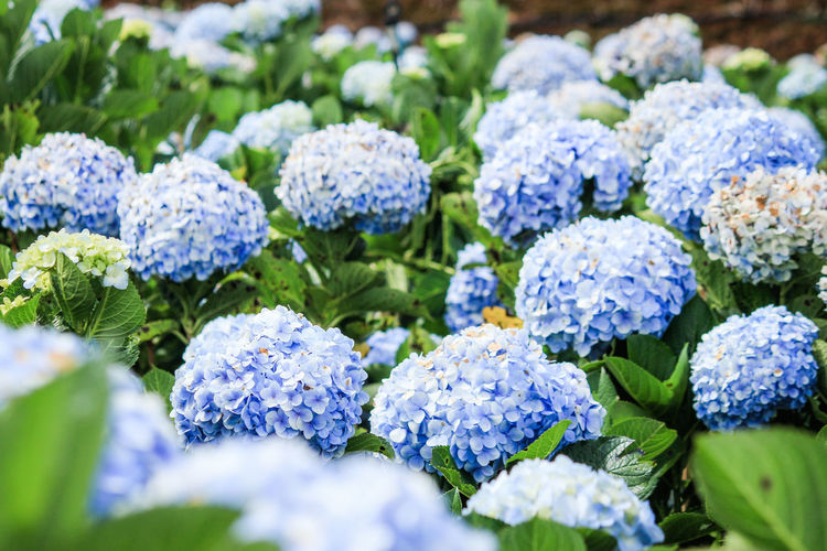 Blue hydrangea garden in mountain Flowering Plant Flower Selective Focus Freshness Beauty In Nature Plant Close-up Vulnerability  Blue Nature Fragility Purple Growth No People Leaf Hydrangea Plant Part Day Outdoors Flower Head Bunch Of Flowers Flowerbed Flower Arrangement Hydrangea Flower Blue Flowers