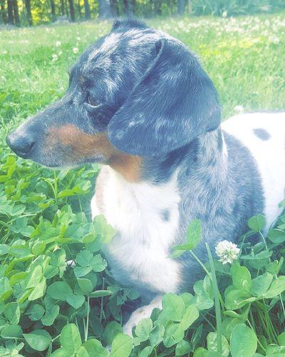 Man I love you Weiner-Dog One Animal Grass Close-up