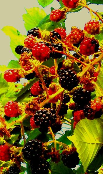 Blackberries Not The Phone Hahahaha 😂😂😂😂😂 Yummy Sour And Sweet Ripe Fruit Everwhere Abondance Yummie Buckets Full Berry Good Berries Collection Eyeem Delicious Yummy Yummy For My Tummy Carries Picks 43 Golden Moments My Year My View Getty Images EyeEm Gallery Love Photography Oregon Beauty Oregonexplored The Portraitist - 2017 EyeEm Awards Showcase July Oregon Sommergefühle Wine Not EyeEm Selects EyeEmNewHere