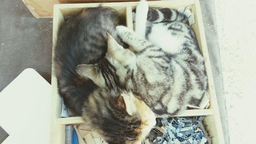 Double Trouble Cat Kedidir Kedi