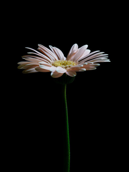 for you… Flower Head Olympus Olympus Om-d E-m10 EyeEm EyeEm Selects Gerbera Black Background Flower Pollen Close-up Plant