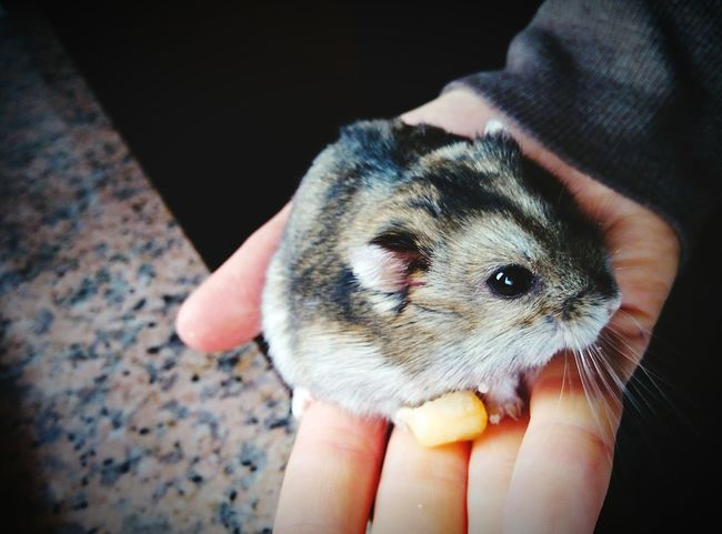 Criceto Cucciolo Topo Mouse Piccolo Pet Portraits Mammal One Person Real People Human Body Part Human Hand One Animal Holding Unrecognizable Person Domestic Animals Pets Young Animal Human Finger Human Finger Human Finger Human Finger Lifestyles Hedgehog Men Indoors  People Close-up Hamster Day