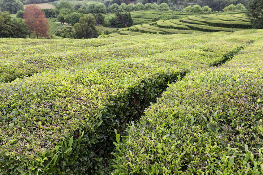 A plantation for green and black tea on the island of Sao Miguel in the Azores. Tea Plantation Azores Portugal Green Production Organic Açores Sao Miguel Destination Europe Atlantic São Brás Agriculture Gorreana Tourism Tranquility Growth Field Landscape Plant No People Nature Black Tea Green Tea
